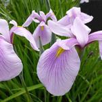 Iris ensata 'Rose Queen' - Japanse iris - Iris ensata 'Rose Queen'