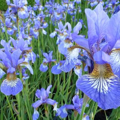 Iris sibirica 'Persimmon' -