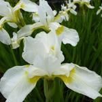 Iris sibirica 'Snow Queen' - Siberische lis - Iris sibirica 'Snow Queen'