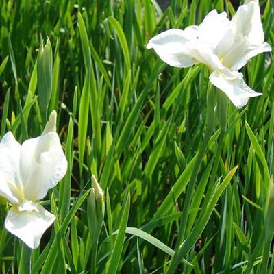 Iris sibirica 'White Swirl' -