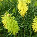 Kniphofia 'Bees' Lemon' - Vuurpijl of de fakkellelie - Kniphofia 'Bees' Lemon'