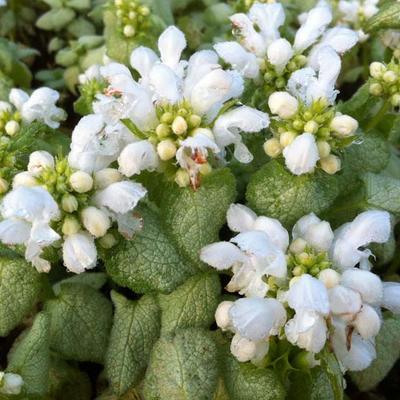 Lamium maculatum 'White Nancy - Gevlekte dovenetel - Lamium maculatum 'White Nancy