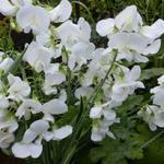 Lathyrus latifolius 'White Pearl' - Siererwt - Lathyrus latifolius 'White Pearl'