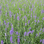 Lavendel - Lavandula angustifolia 'Essence Purple'