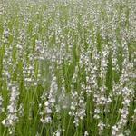 Lavandula x intermedia 'Edelweiss' - Lavendel - Lavandula x intermedia 'Edelweiss'