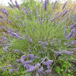Lavandula x intermedia 'Grosso' - Lavendel - Lavandula x intermedia 'Grosso'