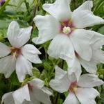 Struikmalva - Lavatera x clementii 'Blushing Bride'