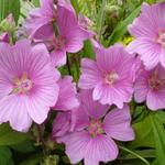 Struikmalva - bekermalva - struiklavatera - Lavatera x clementii 'Rosea'