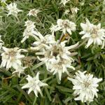 Leontopodium alpinum 'Mont Blanc' - Edelweiss - Leontopodium alpinum 'Mont Blanc'