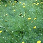 Leptinella hispida - Leptinella hispida - Koperknoopje, Speldenkussenplant