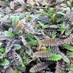 Leptinella potentillina - Speldenkussenplant - Leptinella potentillina