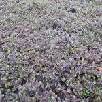 Leptinella squalida 'Platt's Black' - Koperknoopje - Leptinella squalida 'Platt's Black'