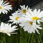 Leucanthemum x superbum 'Alaska' - Margriet - Leucanthemum x superbum 'Alaska'