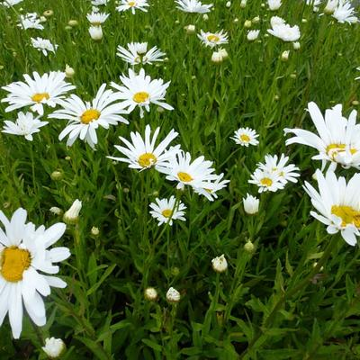 Leucanthemum 'Polaris' - Margriet - Leucanthemum 'Polaris'