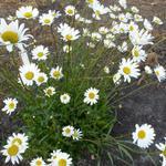 Leucanthemum vulgare - Margriet - Leucanthemum vulgare