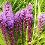 Liatris spicata 'Floristan Violett' - Lampepoetser - Liatris spicata 'Floristan Violett'