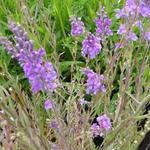 Vlasleeuwebek - Linaria purpurea