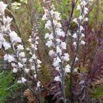 Vlasleeuwebek - Linaria purpurea 'Canon J. Went'