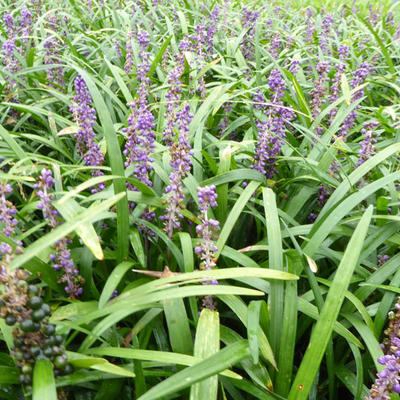 Liriope muscari 'Evergreen Giant' -