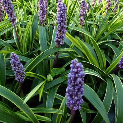 Liriope muscari 'Gold Band' -
