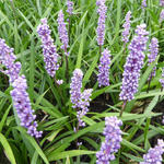 Liriope muscari 'Moneymaker' - Leliegras - Liriope muscari 'Moneymaker'