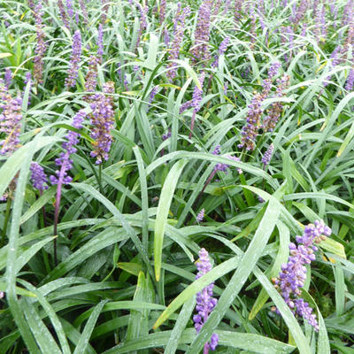 Liriope muscari 'Royal Purple' -