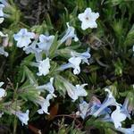 Lithodora diffusa 'Cambridge Blue' - Parelzaad/Steenzaad