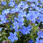 Parelzaad/Steenzaad - Lithodora diffusa 'Heavenly Blue'