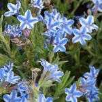 Lithodora diffusa 'Star' - Parelzaad, Steenzaad - Lithodora diffusa 'Star'