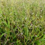 Luzula pilosa - Luzula pilosa - Ruige veldbies