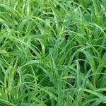 Veldbies - Luzula sylvatica 'Onderbos'