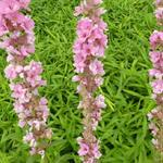 Lythrum salicaria 'Blush' - Lythrum salicaria 'Blush' - Kattenstaart