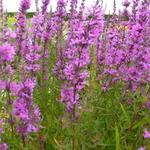 Lythrum salicaria 'Lady Sackville' - Lythrum salicaria 'Lady Sackville' - Kattenstaart
