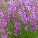 Lythrum salicaria 'Swirl' - Kattenstaart - Lythrum salicaria 'Swirl'