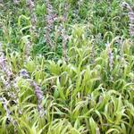 Melica altissima 'Atropurpurea' - Melica altissima 'Atropurpurea' - Parelgras