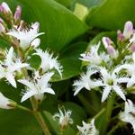 Waterdrieblad,Waterklaver - Menyanthes trifoliata