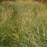 Miscanthus sinensis 'Adagio' - Miscanthus sinensis 'Adagio' - Prachtriet