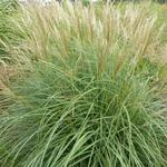 Miscanthus sinensis 'Arabesque' - Miscanthus sinensis 'Arabesque' - Prachtriet