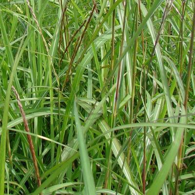 Miscanthus sinensis 'August Feder' -