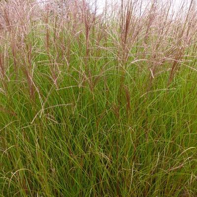 Miscanthus sinensis 'Autumn Light' - Prachtriet - Miscanthus sinensis 'Autumn Light'