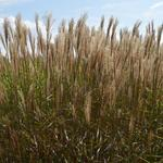Prachtriet - Miscanthus sinensis 'Dronning Ingrid'