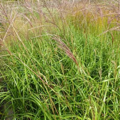 Miscanthus sinensis 'Emmanuel Lepage' -