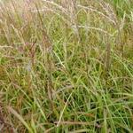 Miscanthus sinensis 'Ghana' - Prachtriet - Miscanthus sinensis 'Ghana'
