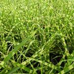 Miscanthus sinensis 'Gold Bar' - Prachtriet - Miscanthus sinensis 'Gold Bar'