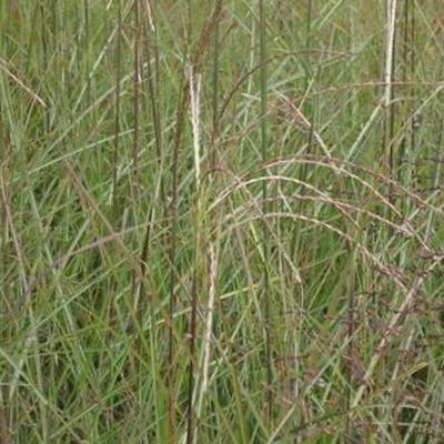 Miscanthus sinensis 'Graziella' - Prachtriet - Miscanthus sinensis 'Graziella'