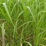 Miscanthus sinensis 'Jubilar' - Prachtriet - Miscanthus sinensis 'Jubilar'