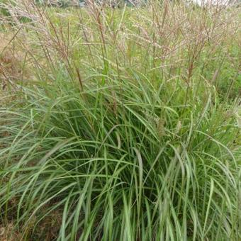 Miscanthus sinensis 'Purple Fall'