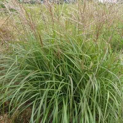 Miscanthus sinensis 'Purple Fall' - Prachtriet - Miscanthus sinensis 'Purple Fall'