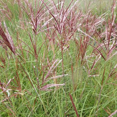 Miscanthus sinensis 'Red Chief' - Prachtriet - Miscanthus sinensis 'Red Chief'