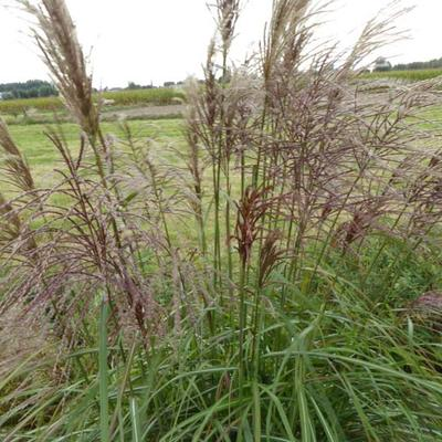 Miscanthus sinensis 'Rotsilber' -